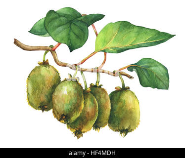 Illustration of kiwi plant (Actinidia chinensis) a branch with leaves and fruits. Hand drawn watercolor painting - Stock Photo