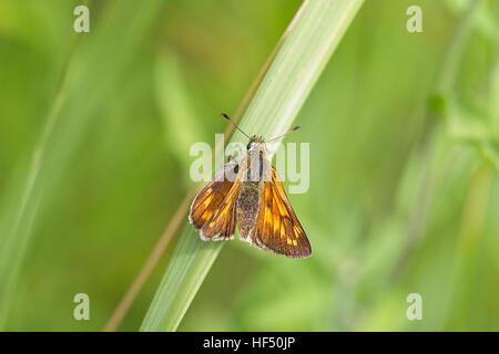 Large Skipper butterfly (Ochlodes venatus) female basking, Cambridgeshire, England, UK. - Stock Photo