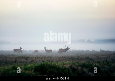 Red deer stag lures female deer. Herd of red deer on the misty field in the morning during the rut in Belarus - Stock Photo