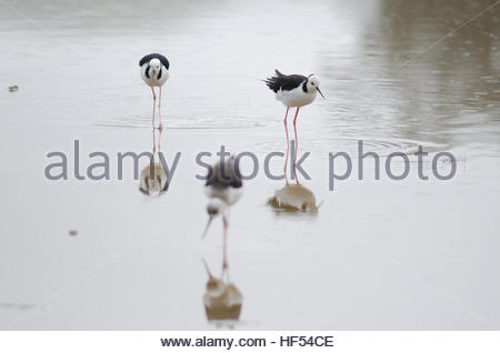 Pied stilts (Himantopus himantopus leucocephalus). Hoopers Inlet. Otago Peninsula. Otago. South Island. New Zealand. - Stock Photo