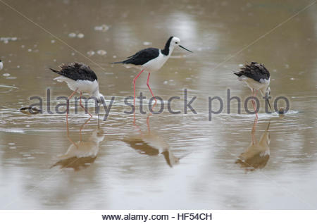 Pied stilts (Himantopus himantopus leucocephalus). Two juveniles and one adult. Hoopers Inlet. Otago Peninsula. - Stock Photo