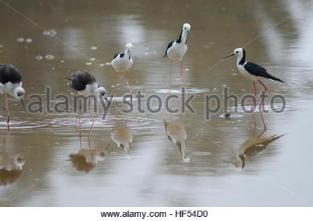 Pied stilts (Himantopus himantopus leucocephalus). Two juveniles and three adults. Hoopers Inlet. Otago Peninsula. - Stock Photo