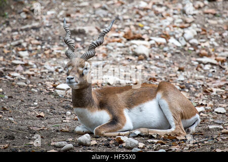 A blackbuck, or Indian antelope, Antilope cervicapra, resting on the ground. This antelope is native to in India - Stock Photo