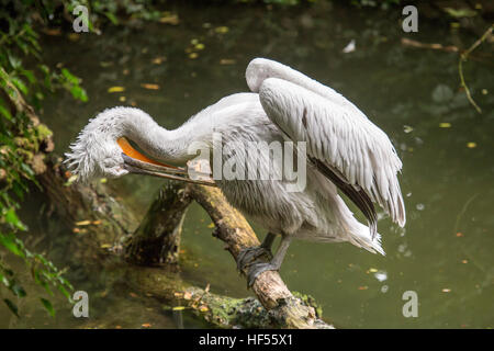 A Dalmatian pelican, Pelecanus crispus, perched on a a trunk that emerges from the water is cleaning its feathers. - Stock Photo