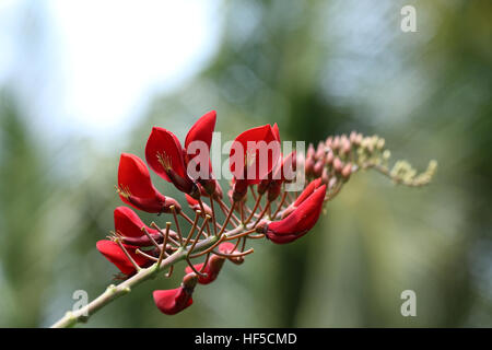 Cockspur Coral Tree - Erythrina Crista-Galli - Stock Photo