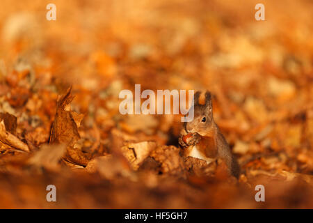 Eurasian Red squirrel (Sciurus vulgaris) feeding in autumnal setting. Highland.Scotland.Great Britain. - Stock Photo