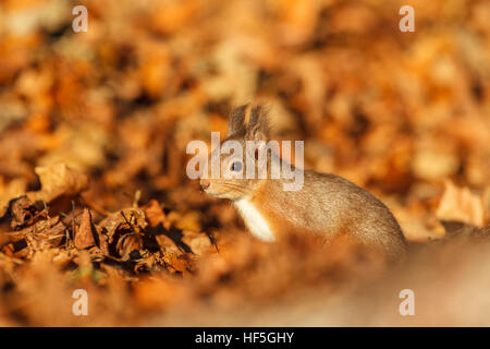 Eurasian Red squirrel (Sciurus vulgaris) feeding in autumnal setting. Highland.Scotland.Great Britain. - Stock Photo
