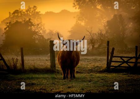 a highland cow at dawn - Stock Photo