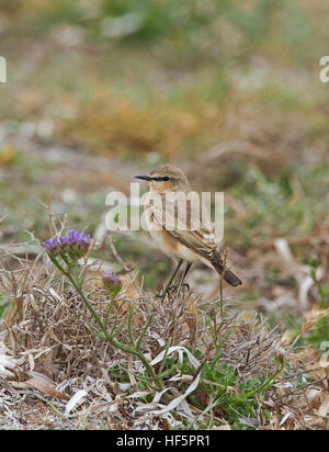 Female Northern Wheatear Oenanthe oenanthe spring - Stock Photo