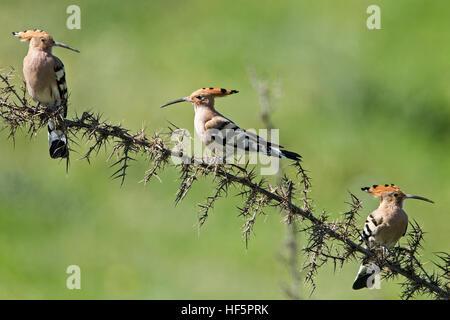 Eurasian hoopoe Upupa epops perched mandria cyprus