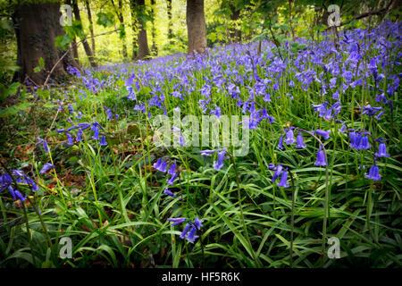 Hyacinthoides non-scripta (formerly Endymion non-scriptus or Scilla non-scripta) is a bulbous perennial plant, found - Stock Photo