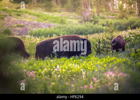 Bison in a field of wildflowers. - Stock Photo