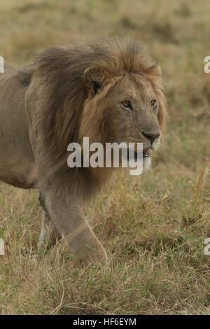 Maned male lion walking in the masai mara - Stock Photo