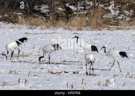 Flock of red-crowned cranes grazing in a field of corn stubble, near Tsurui Ito Tancho Crane Sanctuary, Hokkaido, - Stock Photo