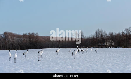 Red-crowned cranes on their winter feeding grounds, Tsurui Ito Tancho Crane Sanctuary, Hokkaido, Japan - Stock Photo