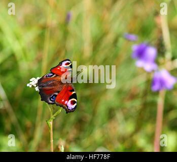 European Peacock butterfly (Aglais io) Påfågelöga - Stock Photo