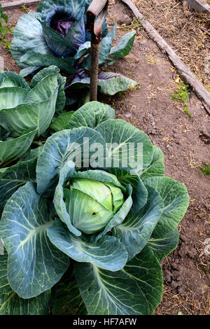 Cabbages growing in vegetable garden - Stock Photo