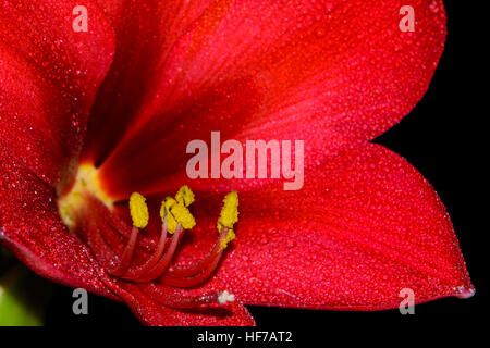 Close-up of Bright Red Amaryllis flowers  - Hippeastrum - bloom against black background - Stock Photo