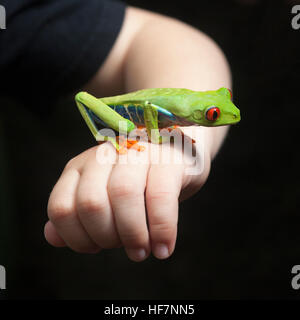 Red-eyed Tree frog (Agalychnis callidryas) on child's hand
