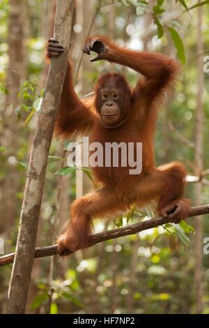 Young wild Orangutan (Pongo pygmaeus) climbing tree at Camp Leakey - Stock Photo
