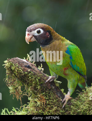 Brown-hooded Parrot (Pyrilia haematotis) perched on rainforest branch in the rain - Stock Photo