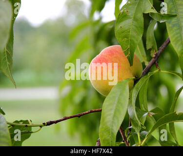 Ripe peach hanging on the branch with green leaves in a garden - Stock Photo