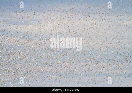 Red Knot (Calidris canutus) flock in flight at high tide roost on Snettisham RSPB Reserve. Norfolk. England. UK. - Stock Photo