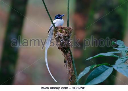 Asian paradise flycatcher Male white morph Bird nest - Stock Photo