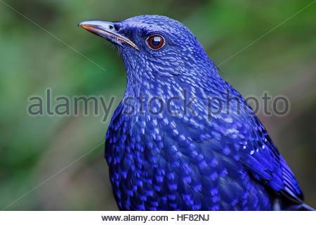 Blue Whistling Thrush Myophonus caeruleus Birds Close Up - Stock Photo