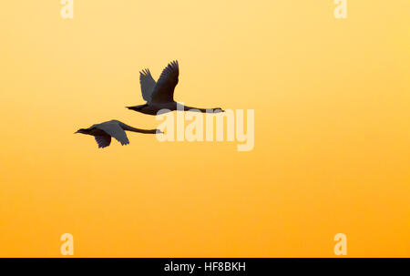 Southport, Merseyside, 28th Dec 2016. A pair of Swans soar into the warming sky over the RSPB nature reserve in - Stock Photo