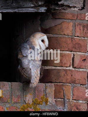 A wild adult Barn Owl Tyto Alba at entrance to it's roost/nest site - Stock Photo