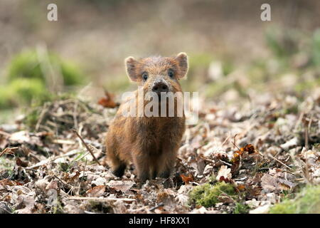 Wild Boar piglet UK - Stock Photo