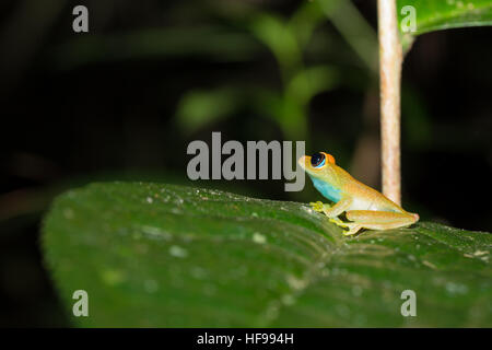 Green bright-eyed frog, (Boophis viridis), is a species of frog in the family Mantellidae endemic to Madagascar. - Stock Photo