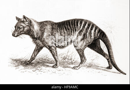 A thylacine,Thylacinus cynocephalus, aka Tasmanian tiger (because of its striped lower back) or Tasmanian wolf. - Stock Photo