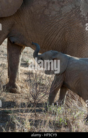 Baby Elephant by Mommy's Side - Stock Photo