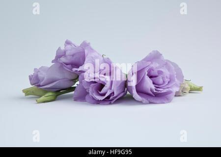 Prarie gentian flowers - Stock Photo
