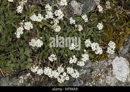 Lepidium hirtum ssp oxyotum in the mountains of Corsica. Endemic to Corsica and Crete. - Stock Photo