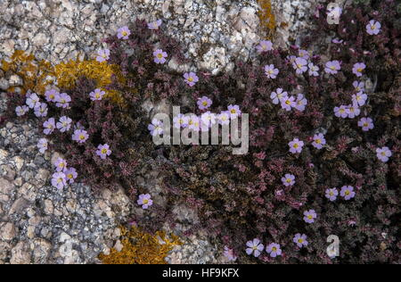 Sea heath, Frankenia laevis in flower on coastal granite, Corsica. - Stock Photo