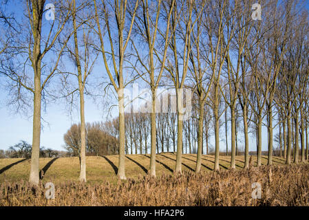 Row of poplars bordering field near the city Damme in winter, West Flanders, Belgium - Stock Photo