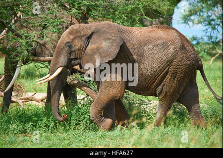 Elephant herd roaming along the Tarangire river valley in search for their large and selective food requirements - Stock Photo