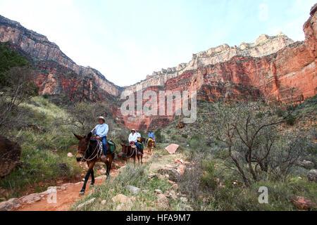 riders on mules Grand Canyon National Park, Arizona, USA - Stock Photo