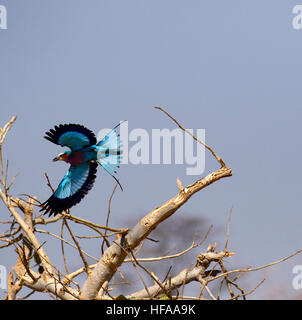 The Lilac-breasted roller a stunningly colourful bird when in flight vibrant blue purple & pink plumage tail feathers - Stock Photo
