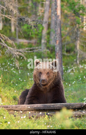 brown bear sitting in forest - Stock Photo