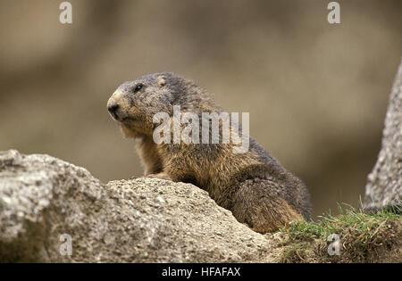 Alpine Marmot, marmota marmota, Adult standing on Rocks, Alps in South East of France - Stock Photo