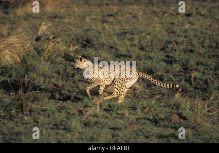 Cheetah,   acinonyx jubatus, Adult Running, Masai Mara Park in Kenya - Stock Photo