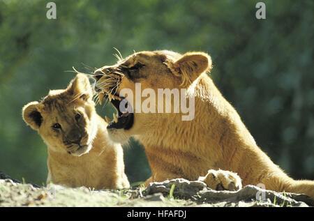 African Lion,  panthera leo, Cub and Mother Snarling, Masai Mara Park in Kenya - Stock Photo