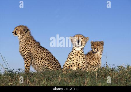Cheetah,   acinonyx jubatus,  Masai Mara Park in Kenya - Stock Photo