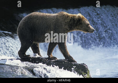 Grizzly Bear, ursus arctos horribilis, Adult waiting for Salmon, Brook's Fall's, Alaska - Stock Photo