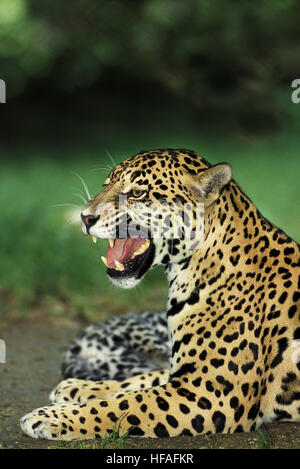 Jaguar,  panthera onca, Female snarling - Stock Photo