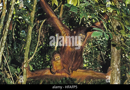 Orang Utan,   pongo pygmaeus, Mother and Young hanging from Branch, Borneo - Stock Photo